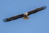 Bald Eagle 3117