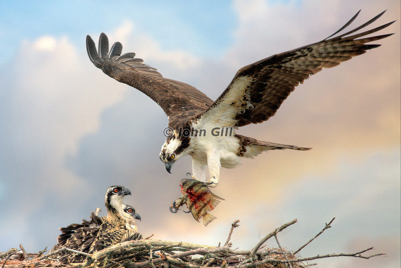 Food Chain (Osprey)