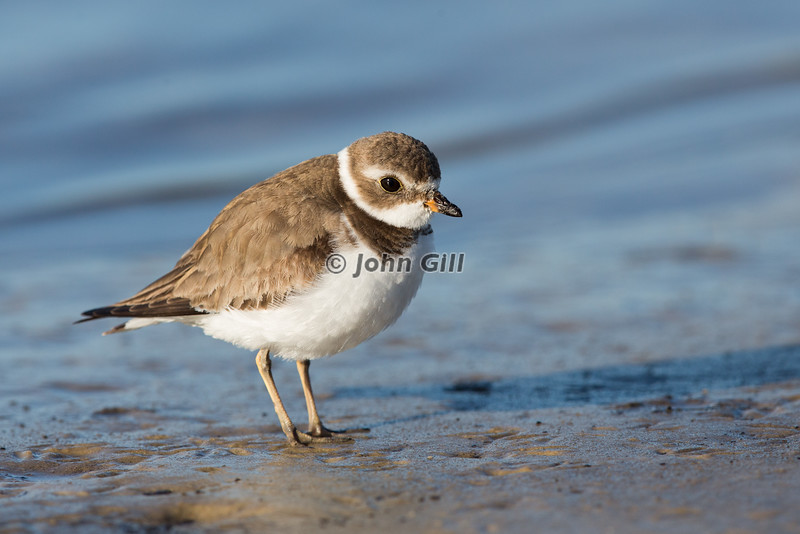 Semipalmated Plover # 2442