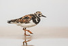 Ruddy Turnstone 2321