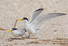 Least Terns - The Gift