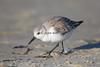 Sanderling # 2370