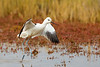 Avocet Take Off