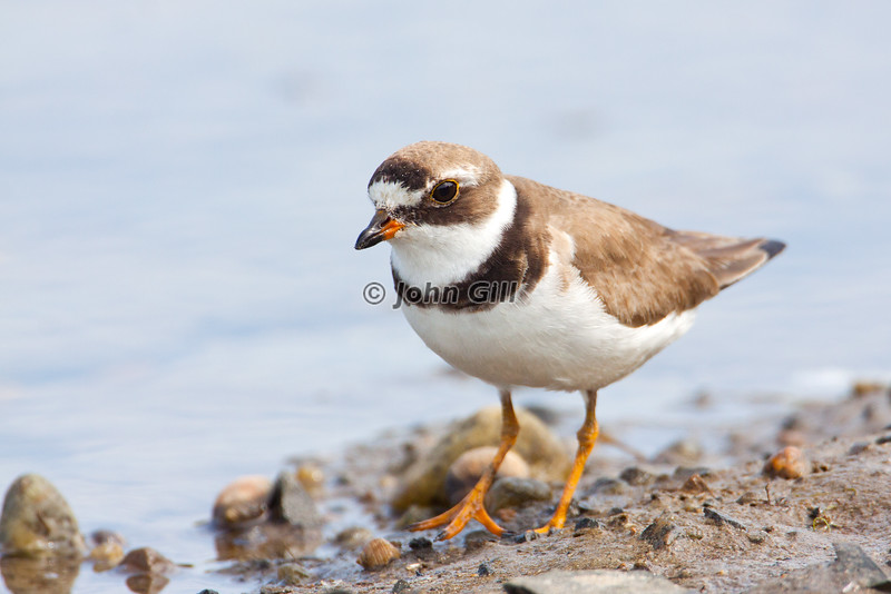 Semipalmated Plover # 6339