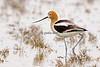 Marsh Dancer - American Avocet
