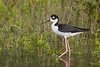 Black-necked Stilt 2180