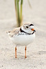 Piping Plover # 4495