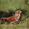 Fox Sparrow 7326