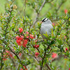 White Crowned Sparrow 4095