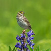 Savannah Sparrow 5227