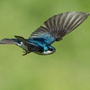 Tree Swallow 8424