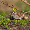 White Throated Sparrow 7880