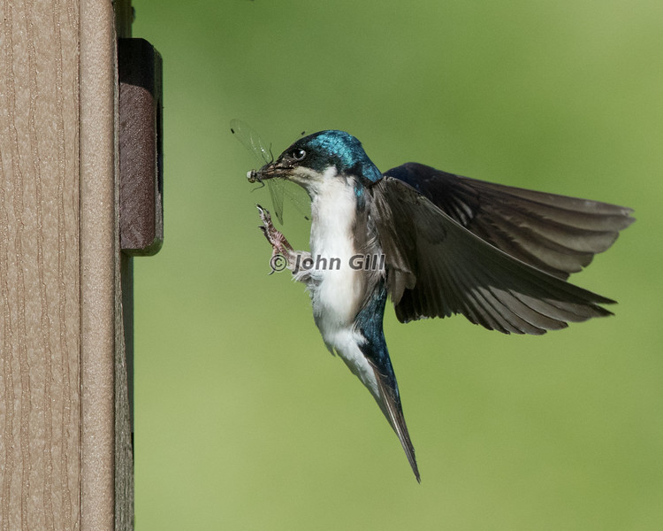 Tree Swallow 8384