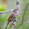 Swamp Sparrow 1152