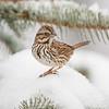 Song Sparrow 1714