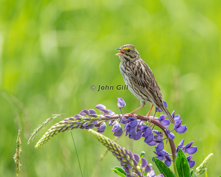 Savannah Sparrow 5279
