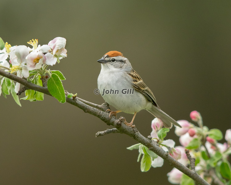 Chipping Sparrow 0951