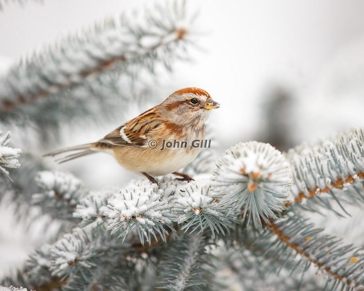 American Tree Sparrow 4106