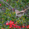 Song Sparrow 6808