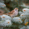 White-Throated Sparrow 3195