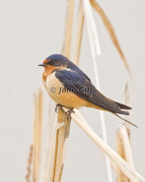 Barn Swallow 3356
