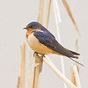 Barn Swallow 3356