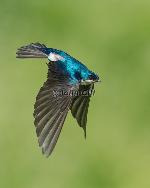 Tree Swallow Flight 8390