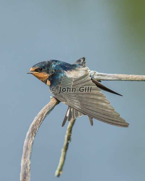 Barn Swallow 6352
