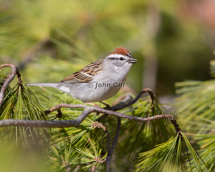 Chipping Sparrow 5189