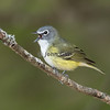 Blue-headed Vireo #0871