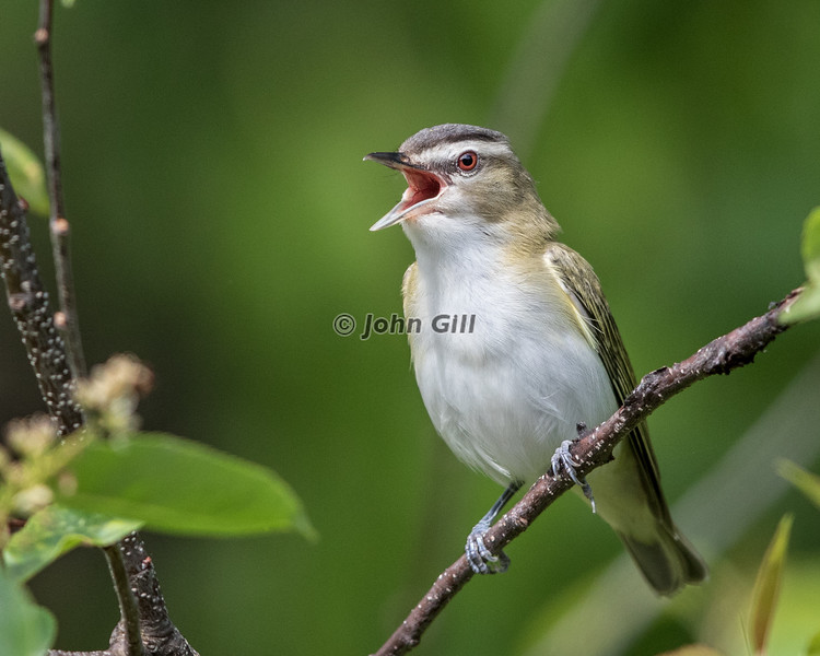 Red Eyed Vireo #7763