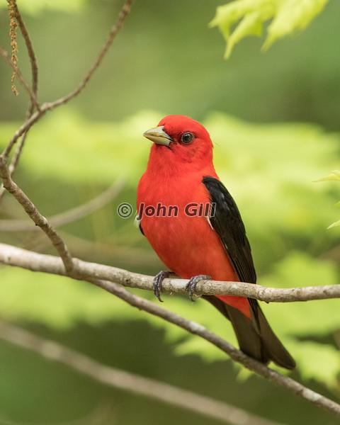 Scarlet Tanager #0471