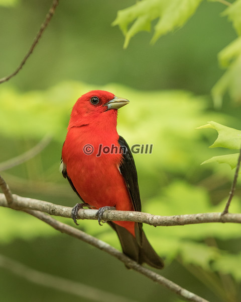 Scarlet Tanager #0476