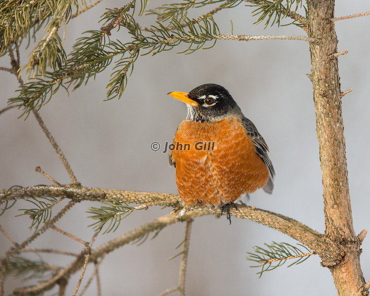 American Robin 9917