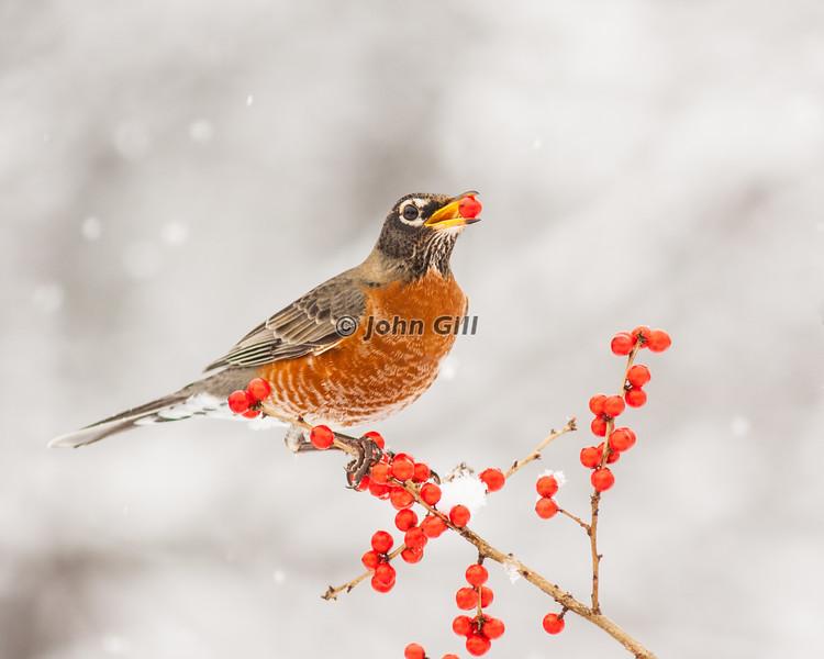 American Robin 0744