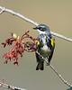 Yellow Rumped Warbler # 5394