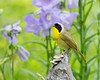 Common Yellowthroat # 3405