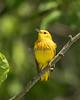 Yellow Warbler # 1582