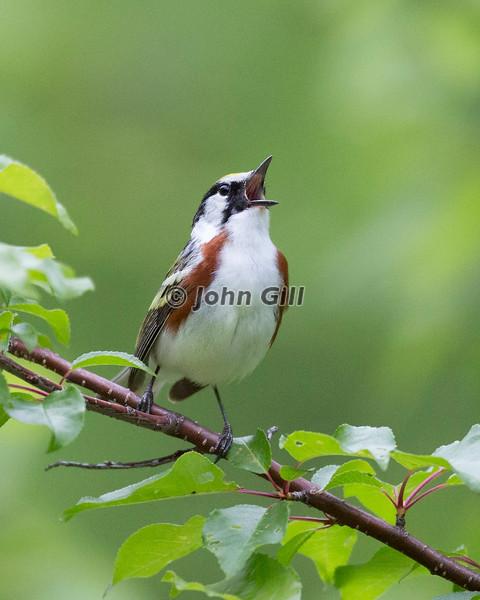 Chestnut Sided Warbler  # 2458