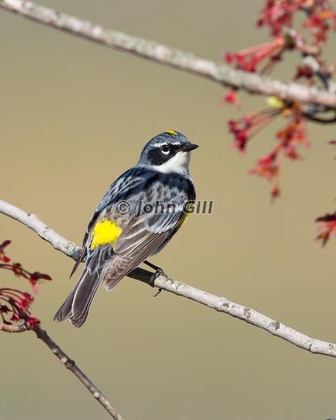 Yellow Rumped Warbler # 5403