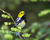 Black Throated Green Warbler - h