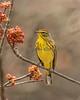 Palm Warbler # 9217