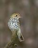 Ovenbird 8244