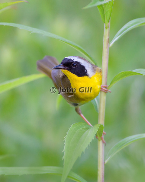 Common Yellowthroat # 4947