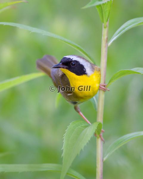 Common Yellowthroat # 4947