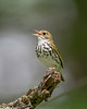 Ovenbird 4565