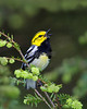 Black Throated Green Warbler - v