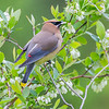 Cedar Waxwing on High Bush Blueberry