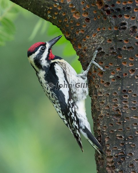 Yellow Bellied Sapsucker # 7797