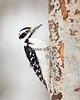 Hairy Woodpecker - Winter